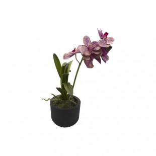 Piantina di Phalaenopsis...