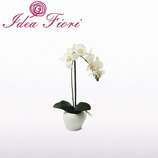 Pianta Phalaenopsis...