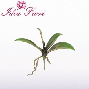Foglie di Phalaenopsis Bruco