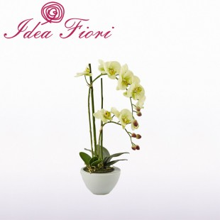 Phalaenopsis in vaso Verde...