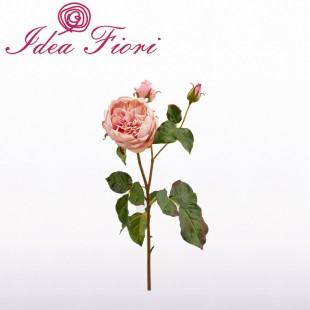 Rosa Inglese Rosa Real...
