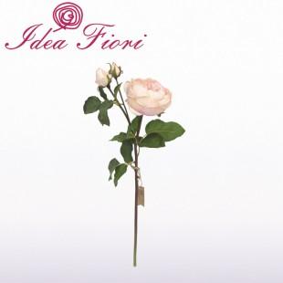 Rosa Inglese Rosa Chiaro...