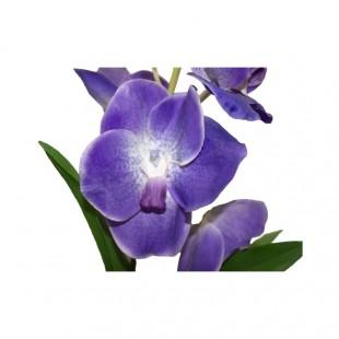 Cymbidium Atificiale Viola...
