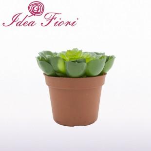 Pianta Grassa Aeonium Verde...