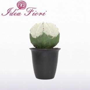 Pianta Grassa Cactus Enzo...
