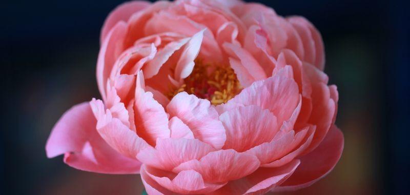 Peonia artificiale che dura nel tempo – idea fiori