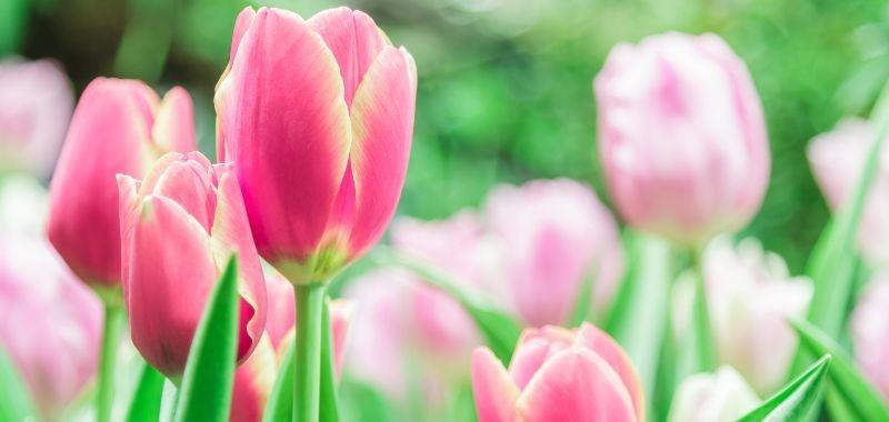Tulipani artificiali che durano nel tempo – idea fiori