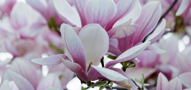 Magnolia artificiale che dura nel tempo – idea fiori