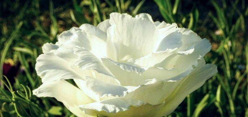 Lisianthus articiale che dura nel tempo – idea fiori